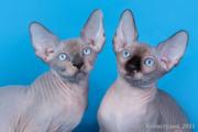 От титулованных родителей котята сфинксы.