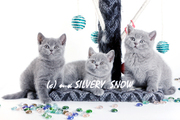 Чистокровные голубые британские котята