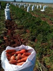 Морковь поздняя оптом