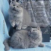 Длинношерстные британские котята голубые