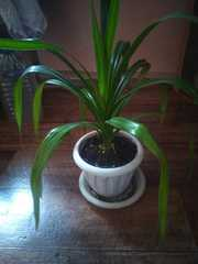 Растения герань бегония панданус каланхоэ кислица эхинокактус