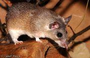 Египетские (игольчатые) мыши