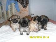 Продаются щенки пекинеса 1, 5 месяца