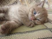 Продаётся британский котенок, от породистых родителей